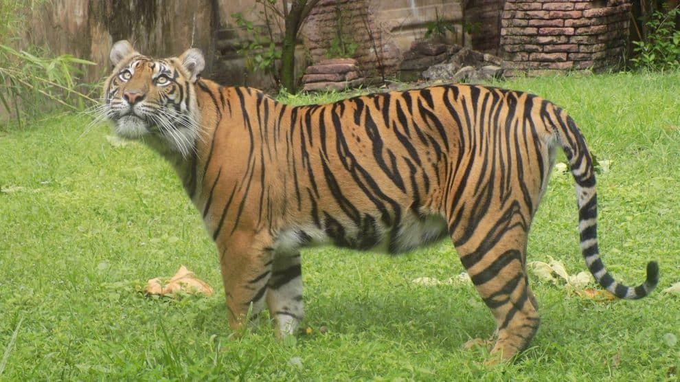 Baby Tiger Cubs are Coming This August to Disney's Animal Kingdom